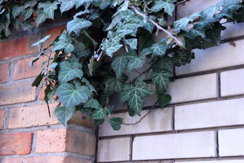 和谐,墙壁,红色,白色,砖,绿色,街道,植物,常春藤 库存图片