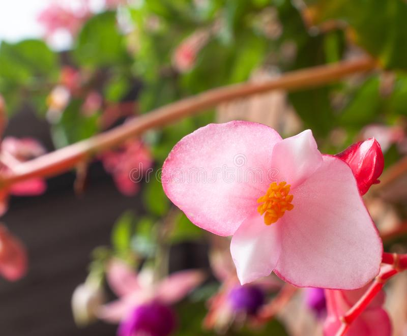 和轻地关闭对美丽的小桃红色,紫色和红色花 图库摄影
