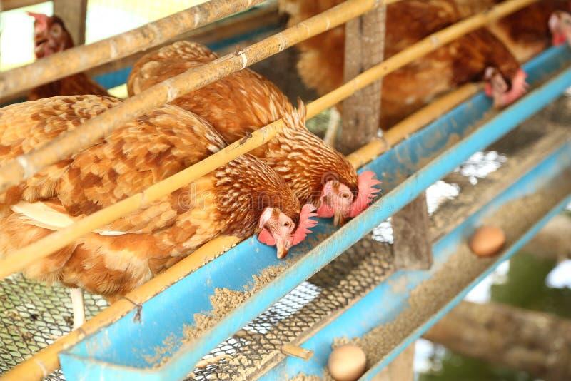 他和鸡蛋吃食物在农场 库存照片