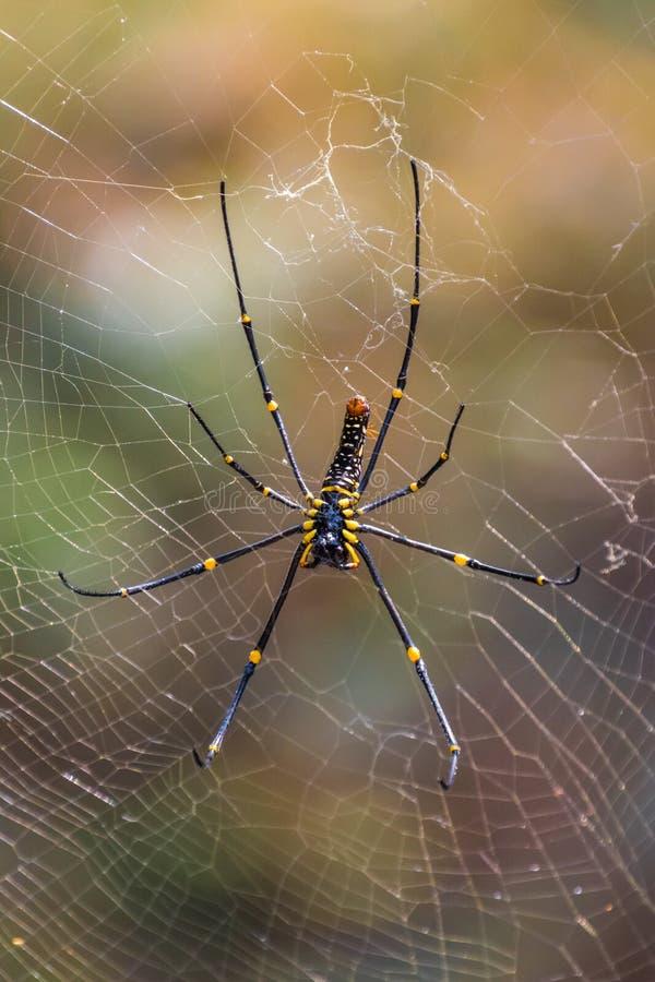 黑和黄色毒热带蜘蛛在密林在泰国 免版税库存图片