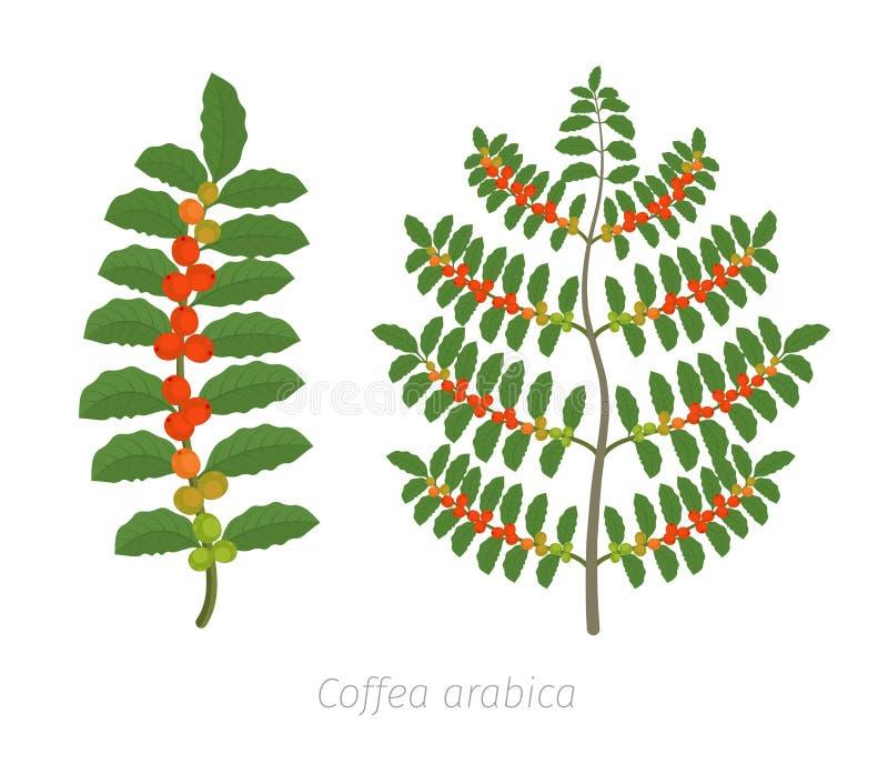 咖啡植物 布什咖啡 树咖啡属阿拉伯咖啡豆沙种植园 一个分支用豆 五颜六色的平的传染媒介 r 库存例证