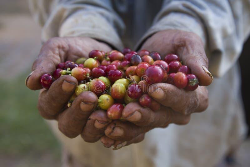 咖啡樱桃 免版税库存照片
