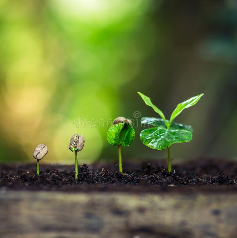 咖啡种子树树苗本质上 库存照片. 图片 包括有 生态,