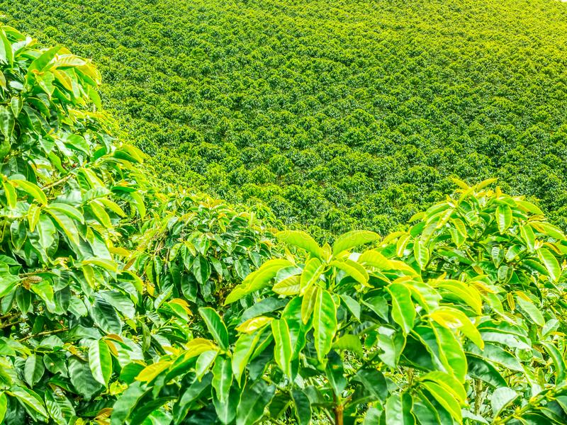 咖啡种植园在Jerico,哥伦比亚 图库摄影