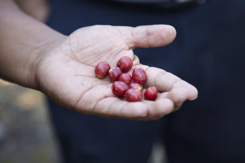 咖啡种植园, Boquete,巴拿马。 免版税库存图片