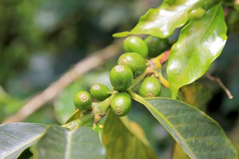 咖啡豆、咖啡樱桃或者咖啡豆在咖啡树,在El Jardin附近,安蒂奥基亚省,哥伦比亚 免版税库存照片