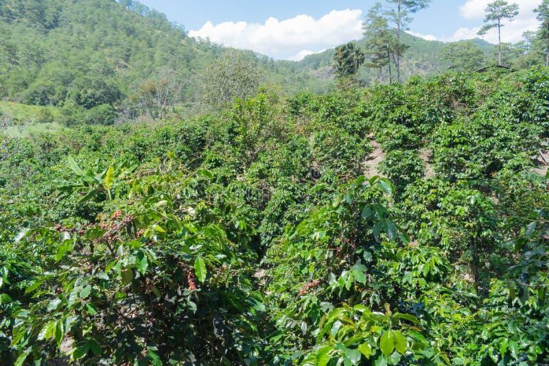 咖啡豆成熟在有咖啡农场、上等咖啡和catimor的第3部分植物 图库摄影
