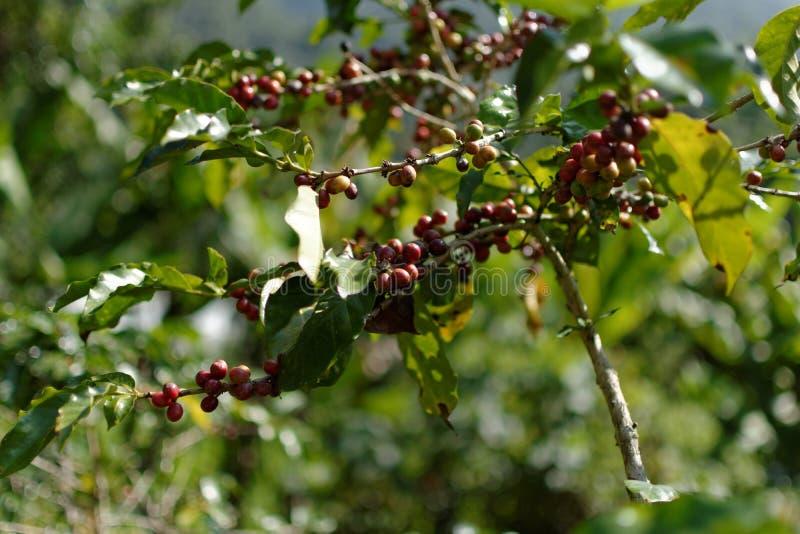 咖啡豆:谷的中部 免版税库存照片