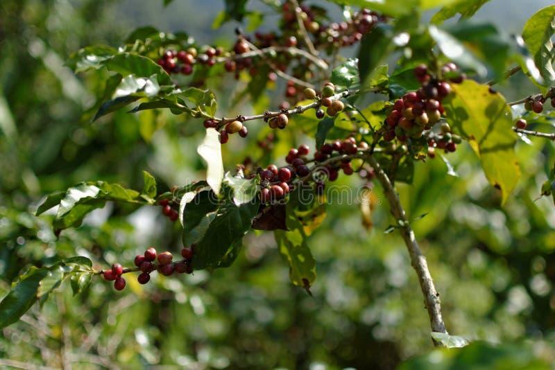 咖啡豆:谷的中部 免版税库存图片