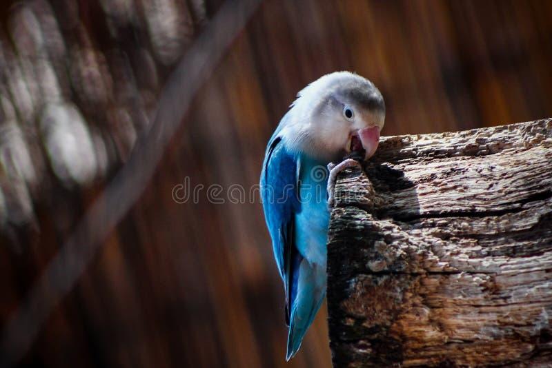 咬住分支的蓝色飞行的鹦鹉 免版税库存照片