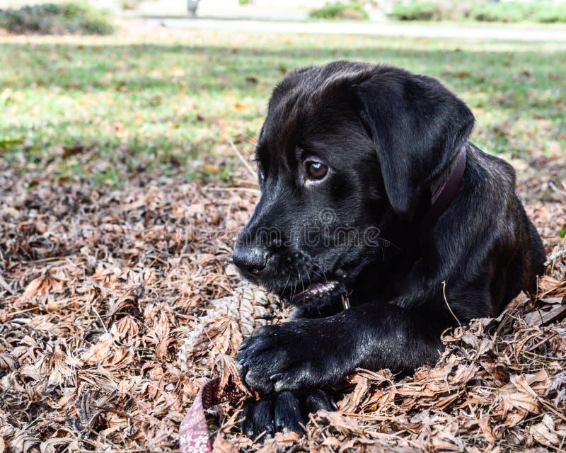 咬住在杉木玉米的黑实验室小狗 免版税库存图片