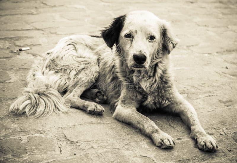 哀伤和无家可归的狗 库存照片