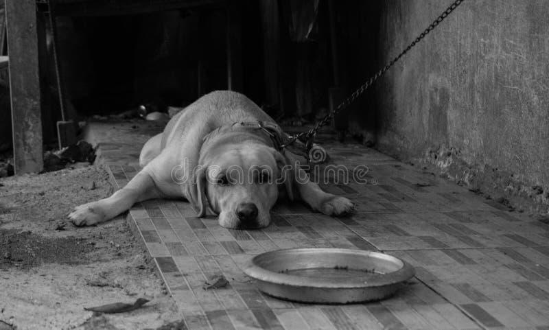 哀伤地躺下在他的碗饲养者前面的大拉布拉多 库存照片