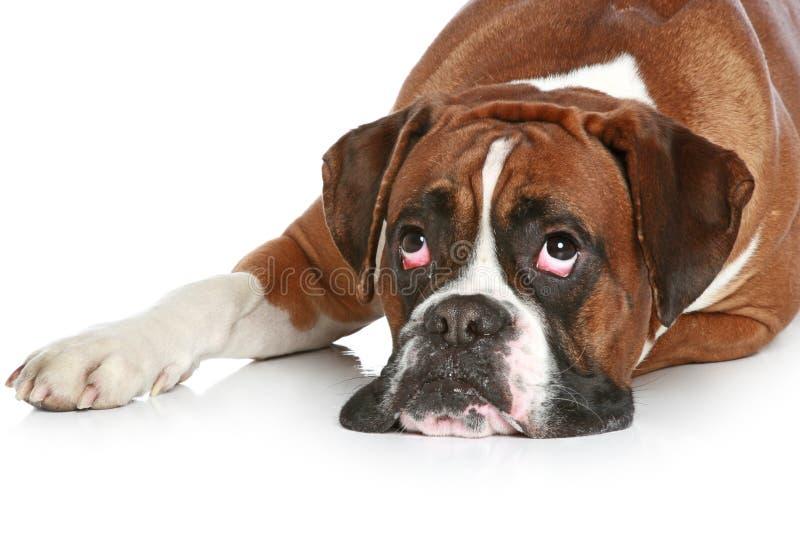 哀伤拳击手的狗 免版税库存图片