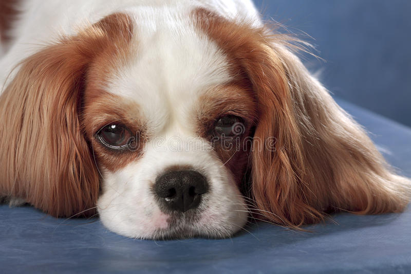 哀伤狗的纵向 库存照片