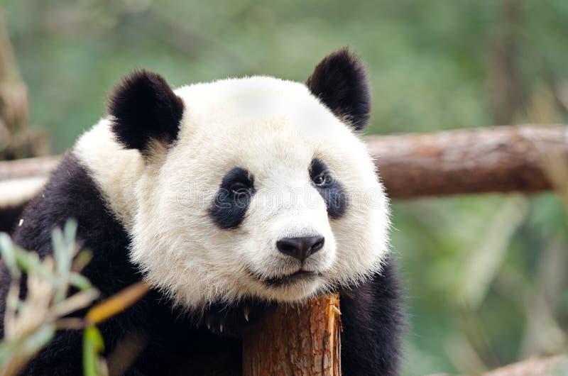 哀伤的大熊猫-,疲乏,不耐烦看姿势 成都,中国 免版税库存图片