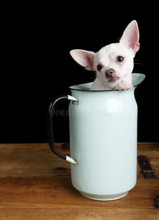哀伤的奇瓦瓦狗 免版税库存图片