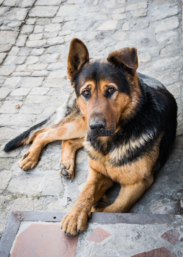 哀伤的怀疑的狗 德国牧羊犬 免版税库存照片