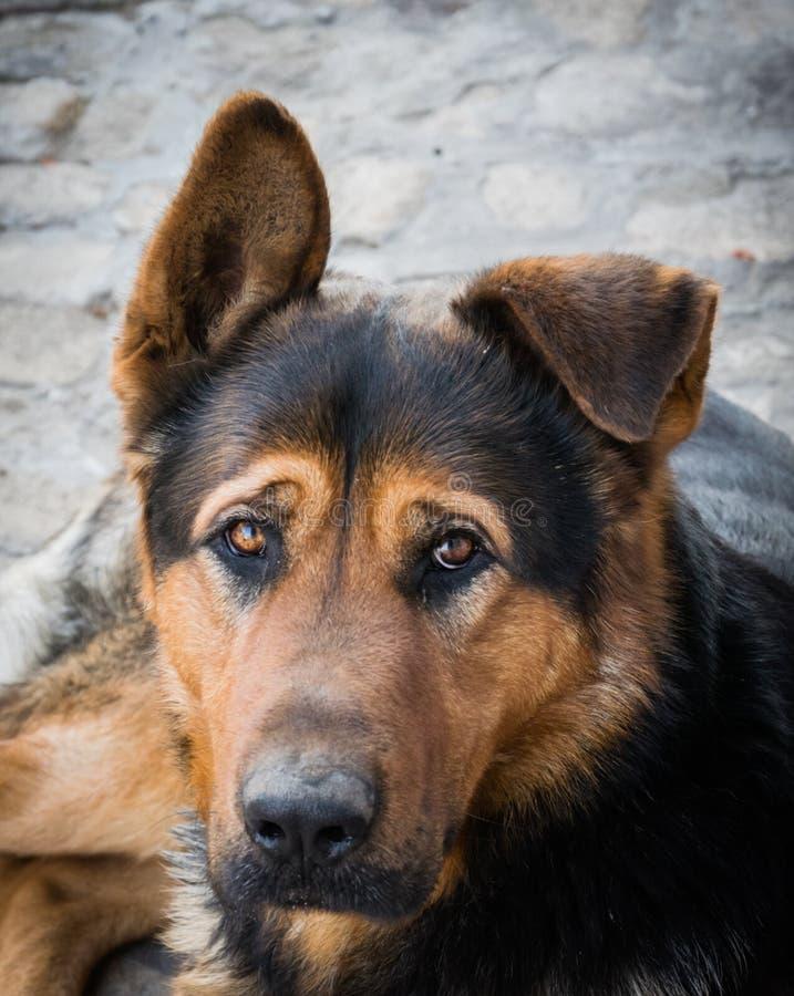 哀伤的怀疑的狗 库存照片