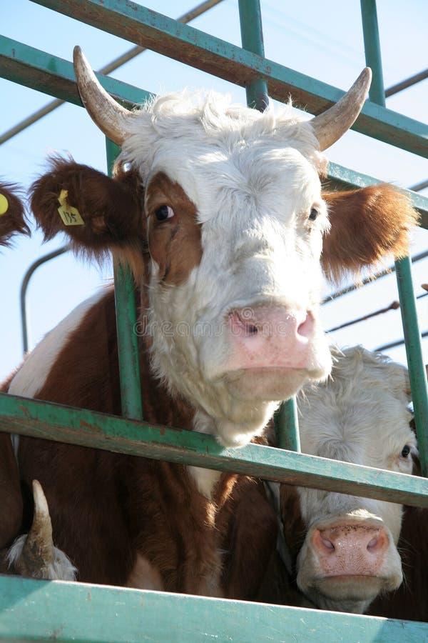 哀伤的母牛 库存图片