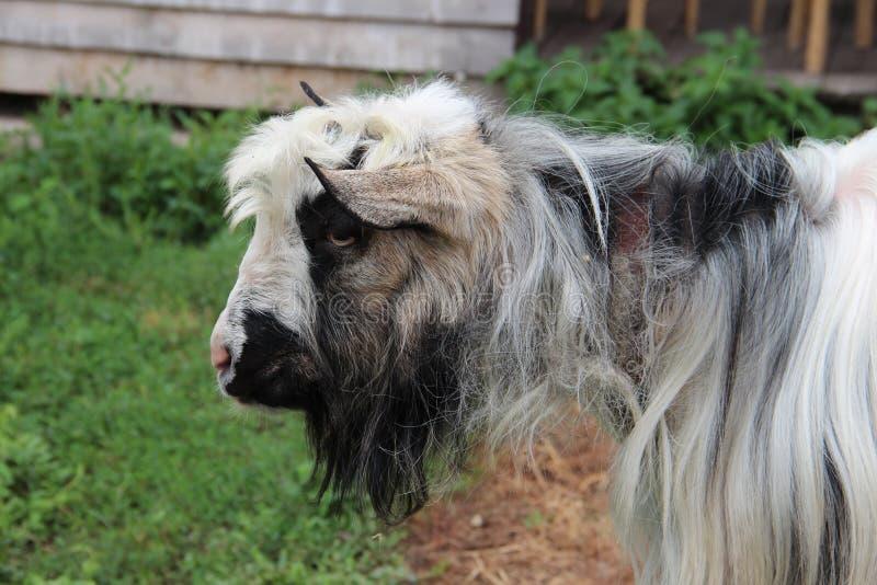 哀伤的毛茸的山羊 库存照片