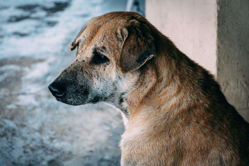 哀伤的泰国样式棕色老狗等待所有者,如果您是所有者,不请忽略狗,由于这是可怜的 图库摄影