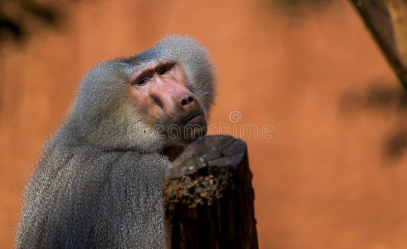 哀伤的狒狒 库存照片