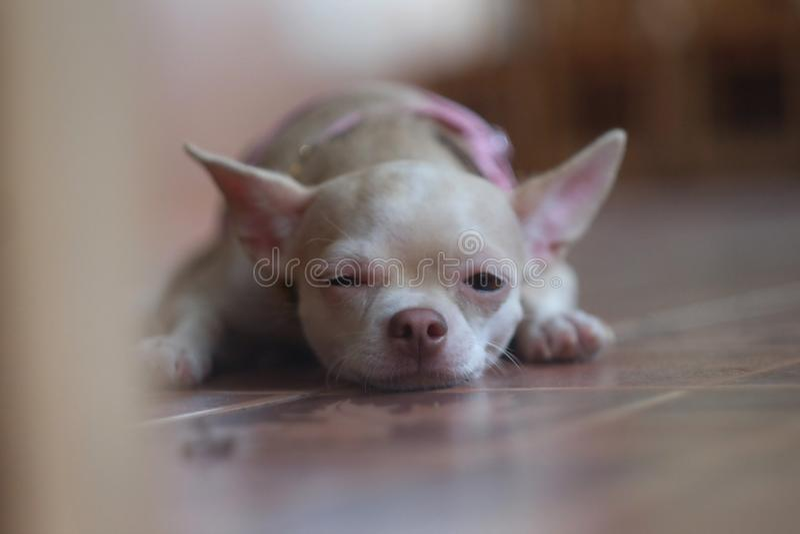 哀伤的狗在屋子里 库存图片
