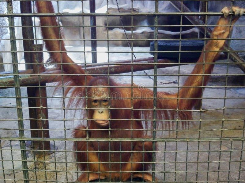 哀伤的猿或猴子在笼子 动物恶习、忽视和crue 库存照片