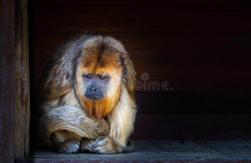 哀伤的看的吼猴 库存图片