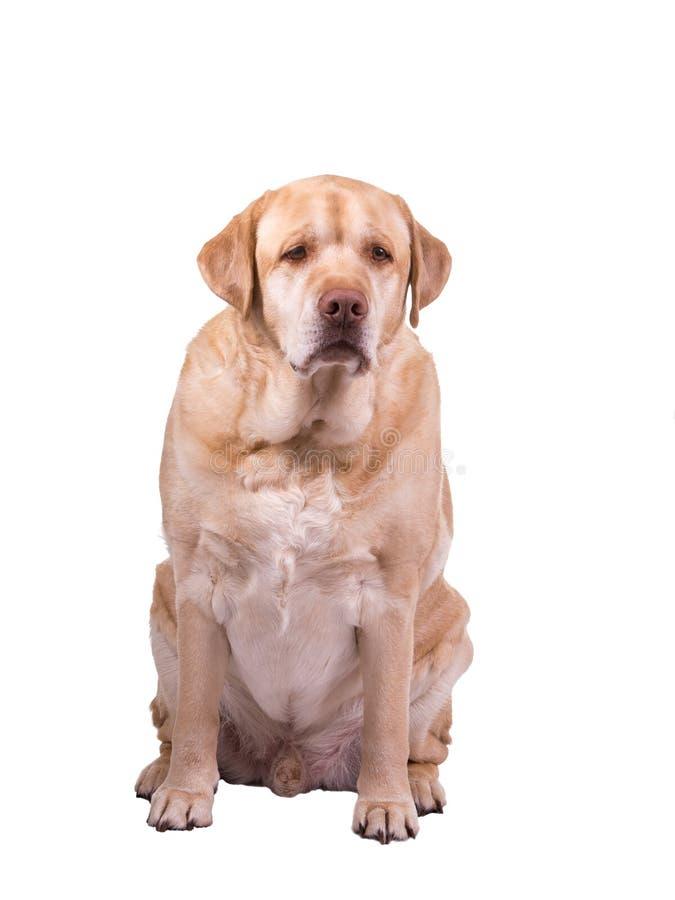 哀伤的肥胖狗 库存照片
