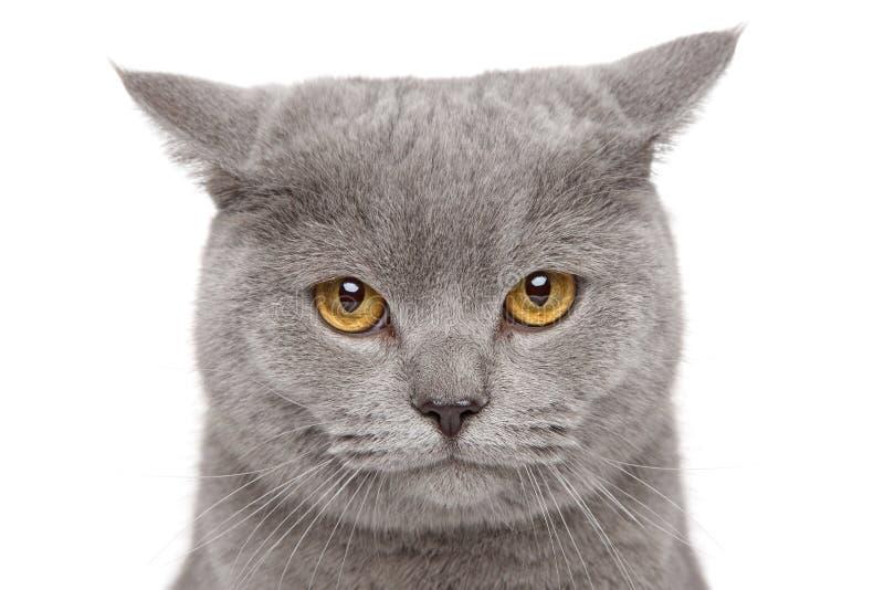 哀伤的英国Shorthair猫 免版税库存照片