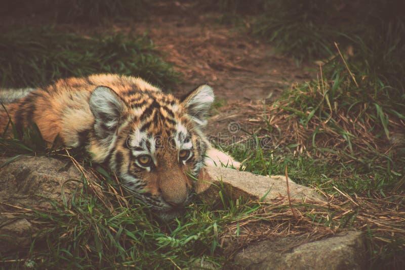 哀伤的虎犊 免版税库存照片