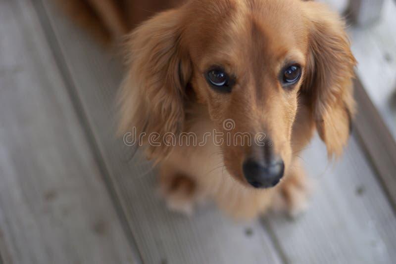 哀伤的达克斯猎犬 免版税库存照片