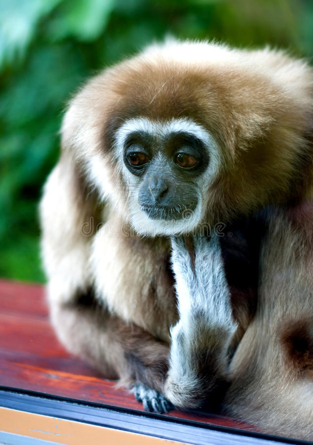 哀伤的长臂猿 免版税图库摄影