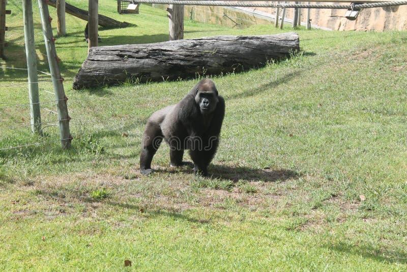 哀伤的黑大猴子 免版税库存照片