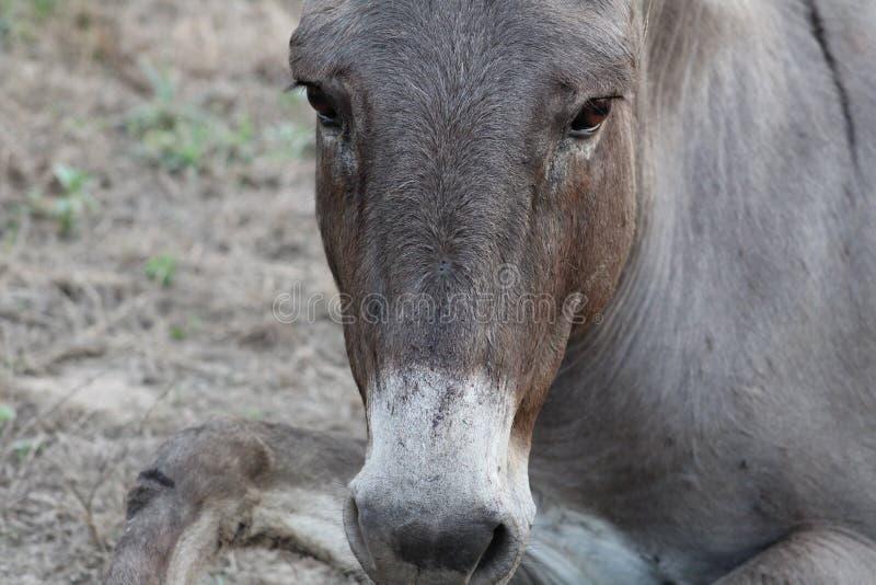 哀伤的驴 库存图片