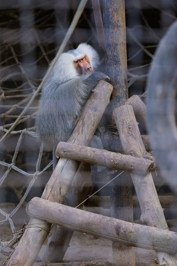 哀伤的Hamadryas狒狒狒狒hamadryas画象  免版税库存照片
