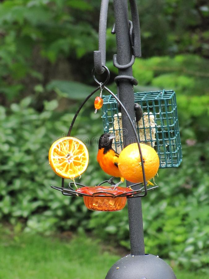 品尝他的飞行的果子巴尔的摩金莺 免版税库存照片
