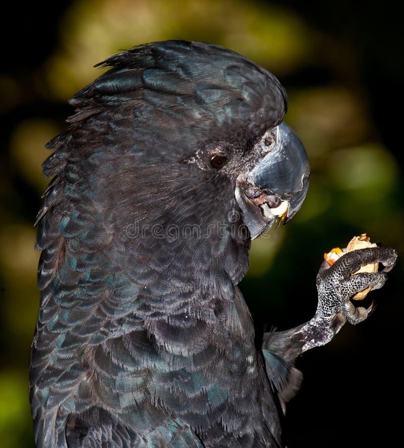 品尝好黑美冠鹦鹉吃 免版税图库摄影