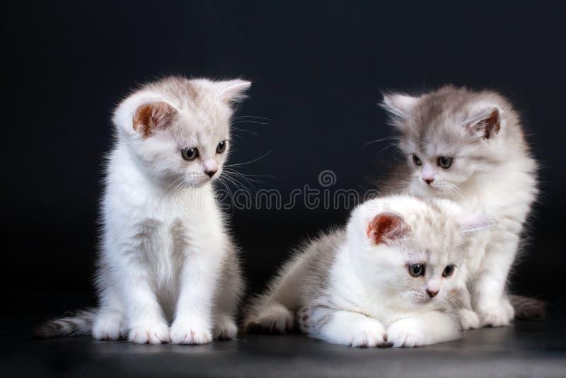 品种小猫苏格兰直接三 图库摄影