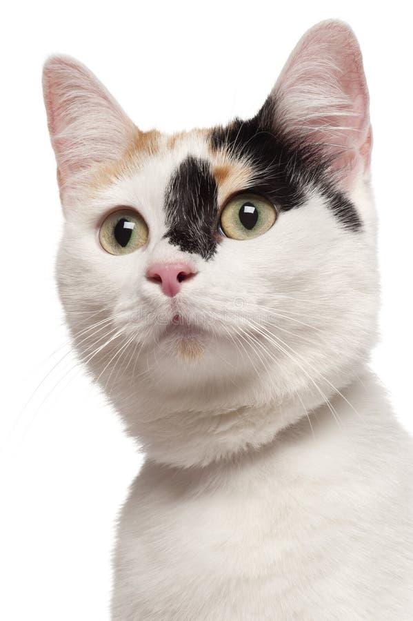品种混合的猫关闭  免版税库存照片
