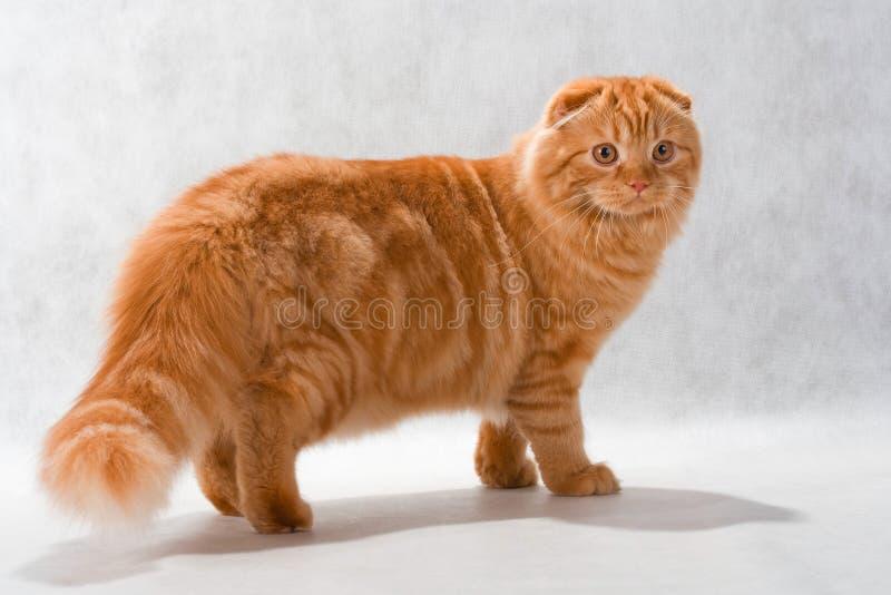 品种猫折叠高地 图库摄影