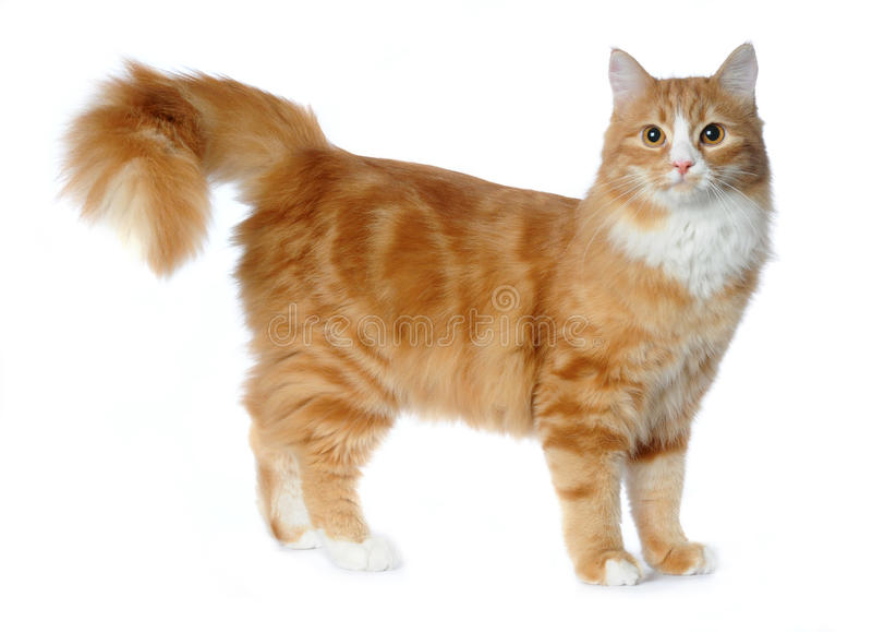 品种猫查出的混杂的红色白色 库存图片