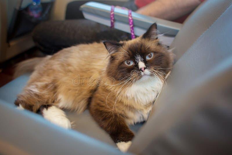 品种美丽的蓬松猫与蓝眼睛旅行的一ragdoll在自己的地方的火车 免版税库存图片