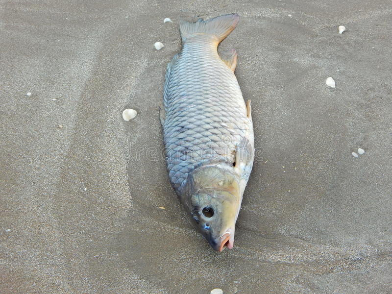 哇哇叫的东西死在海滩 库存图片