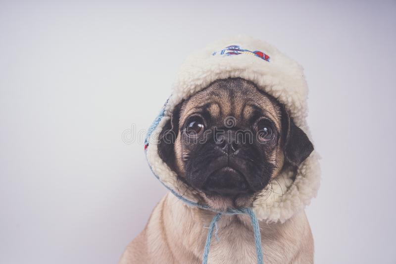 哈巴狗,在白色背景的狗 逗人喜爱的友好的肥胖胖的哈巴狗小狗 宠物,狗恋人,隔绝在白色 免版税图库摄影