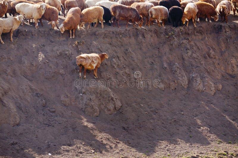 哈萨克人牧人绵羊  免版税库存图片
