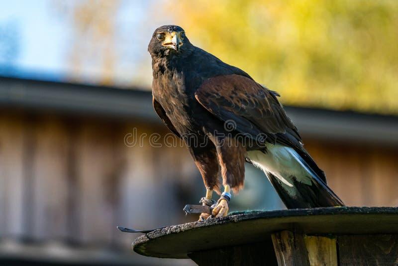 哈里斯的鹰、Parabuteo unicinctus、海湾飞过的鹰或者暗淡的鹰 免版税库存照片