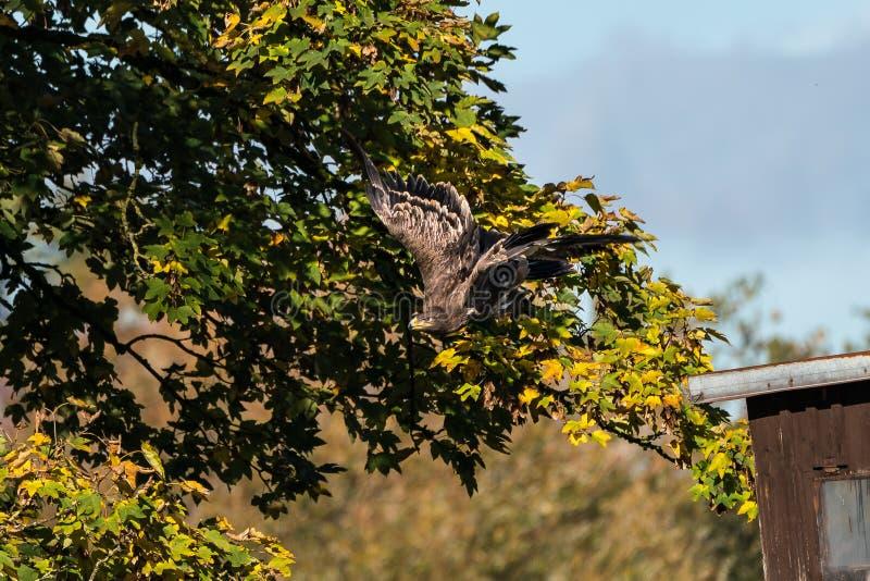 哈里斯的鹰、Parabuteo unicinctus、海湾飞过的鹰或者暗淡的鹰 库存图片